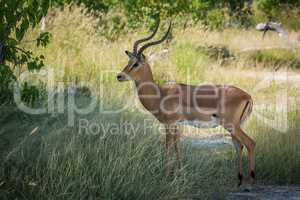 Male impala standing in shade facing camera