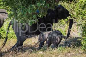Mother elephant pulling back baby by tail