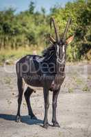 Sable antelope facing camera on bare earth