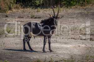 Sable antelope on bare earth facing camera