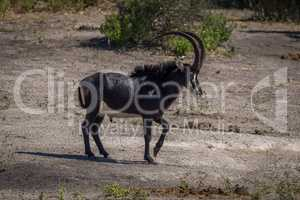 Sable antelope walking across bare earth slope