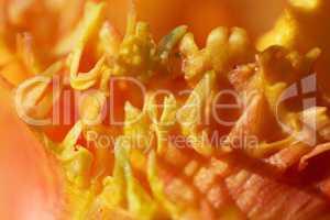 Makro einer Tulpenblüte