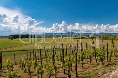 Vineyard in Zagorje region in Croatia