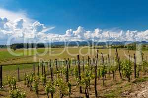 Vineyard in Zagorje region in Croatia