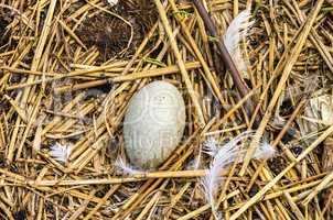 Vogelgelege, Vogelnest mit Ei