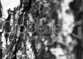 Horizontal bright black and white bokeh tree bark background bac