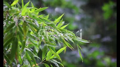 Nature Weather Rain on bamboo plants with Audio