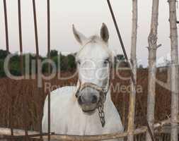 White horse's animal photo portrait.