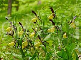 Gelbe Frauenschuhstaude im Habitat