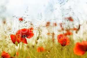 Sommeranfang - Mohnblumen im hohen Gras