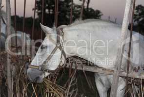 White horse's animal photo  profile portrait.
