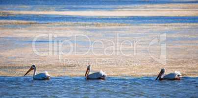 American White Pelicans (Pelecanus erythrorhynchos) wading in mossy bay