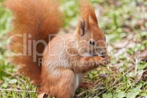 Rotes Eichhörnchen beim Fressen