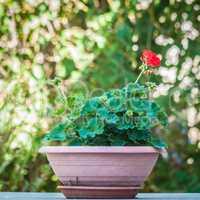 flowerpot with a little geranium