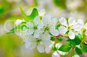 sprig of flowering cherry blossoms in spring garden