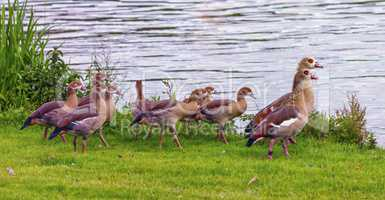 Egyptian goose, alopochen aegyptiacus,and babies