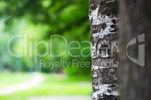 Right aligned tree trunk bokeh background