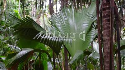 Palm forest at Vallee de Mai, Seychelles, Nature Reserve
