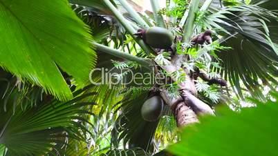 Coco de Mer palm tree with fruits