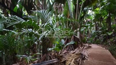 Wild palm tree forest, Praslin island, Seychelles