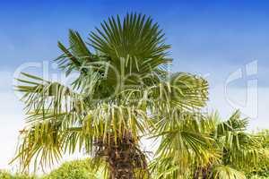 Große Palme vor blauen Himmel
