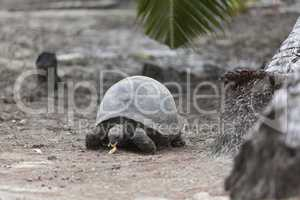 Giant tortoise at Curieuse island eating banana