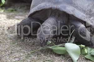 Giant tortoise at Curieuse island eating green leaves