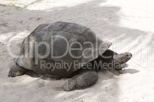 Giant tortoise at Curieuse island, Seychelles
