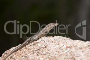 Lizard sunbathing at a rock