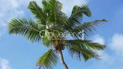Tropical green palm tree with blue sky moving