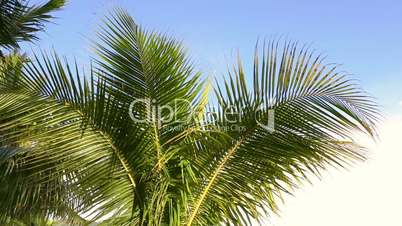 Green palms waving in the wind