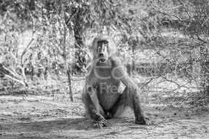 A starring Baboon in black and white.