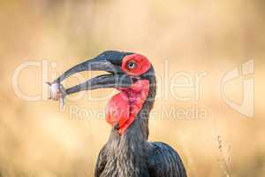 Southern ground hornbill with a Rain frog kill.