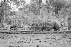 African wild dogs looking at a White rhino in black and white.
