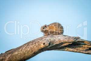 A tree squirrel sitting on a branch.