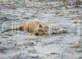 Lion cub laying in the dirt in the Sabi Sabi game reserve.