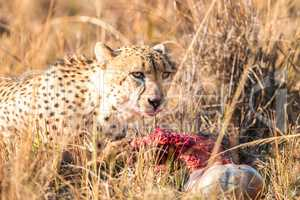 Cheetah on a Reedbuck kill in the Sabi Sabi game reserve.