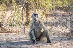 A starring Baboon in the Kruger National Park.