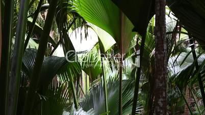 Palm tree forest, Praslin island, Seychelles