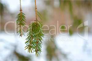 spruce branch on a background of snow