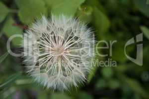 white flower dandelion