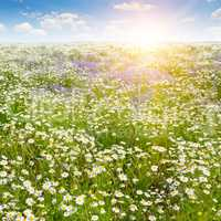 Field with daisies and sun on blue sky, focus on foreground