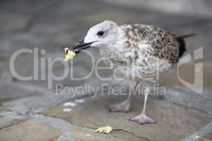 Herring Gull eats bread