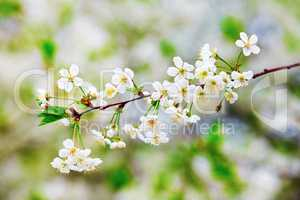 Blossoming tree branch