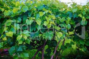 Green foliage vineyard