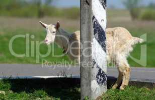 Goat and pillar