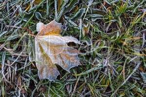 Frozen maple leaf