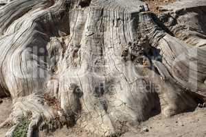 Big dry stump