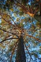 Trunks of pine trees