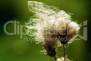 Fluffy thistle